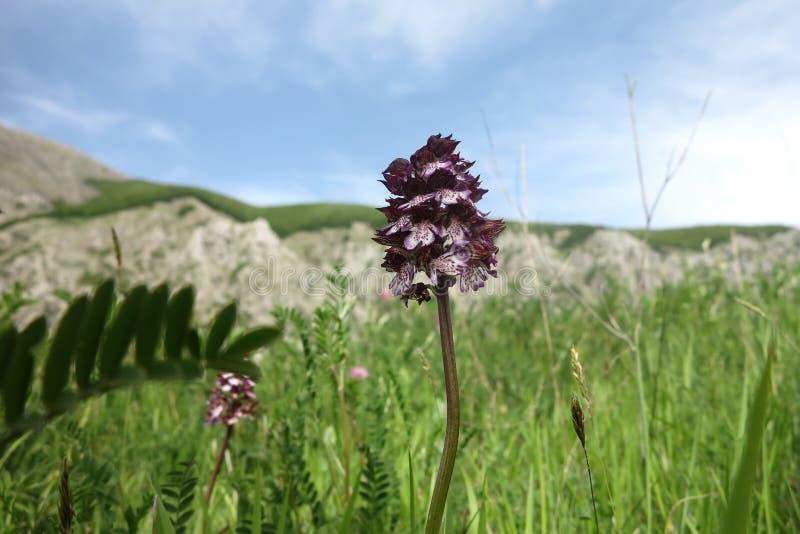 夫人兰花, Orchis purpurea 免版税库存图片