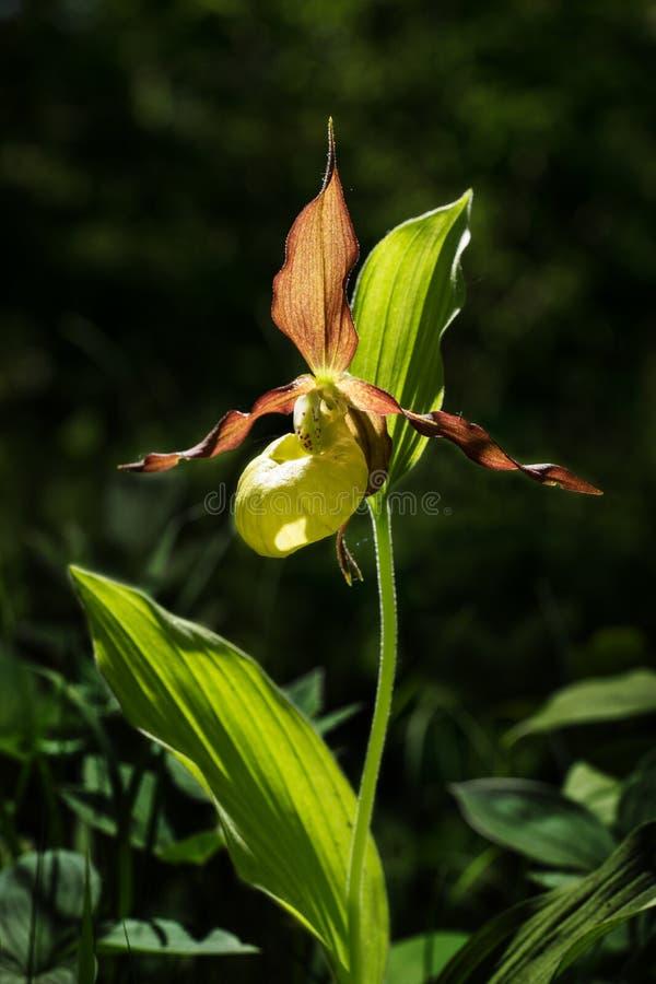 夫人` s崖壁花 染黄与红色瓣开花的花在自然环境里 拖鞋夫人开花绽放 免版税库存图片