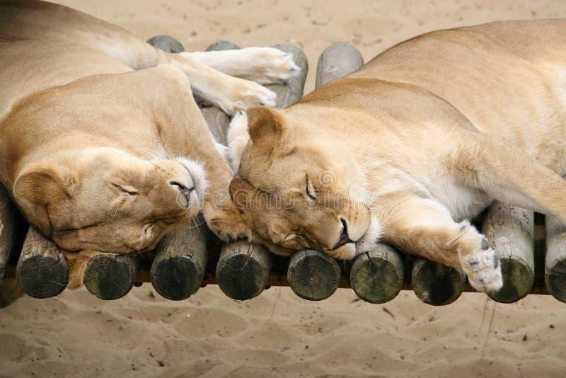 夫妇懒惰狮子 库存图片