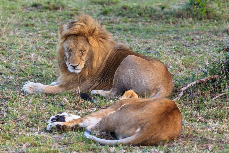 夫妇爱 休息在大草原 肯尼亚mara马塞语 免版税库存图片