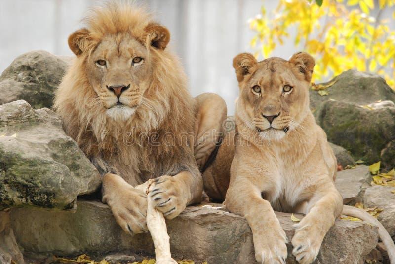 夫妇狮子 免版税库存照片