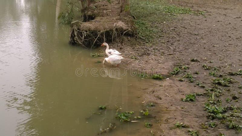 夫妇白色鸭子 免版税图库摄影