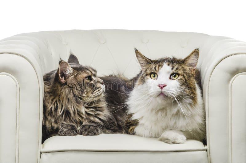 夫妇缅因在白色沙发特写镜头神色右边的树狸猫就座 免版税库存图片