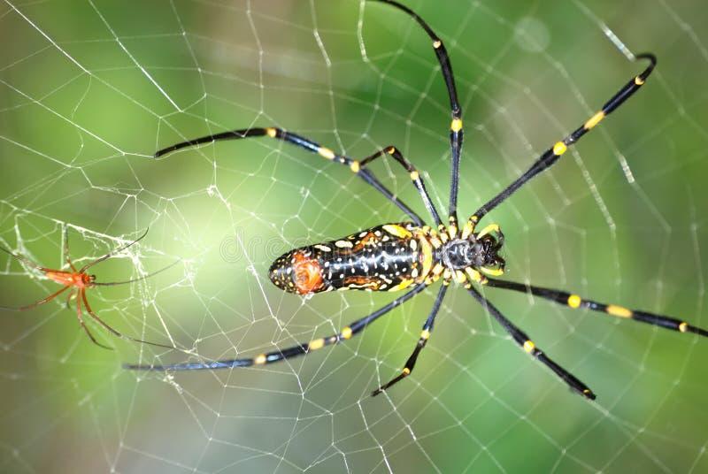 夫妇蜘蛛 免版税库存图片