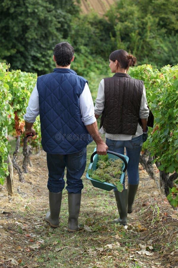 夫妇采摘葡萄 免版税库存图片