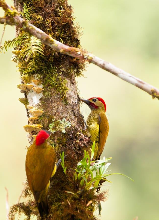 夫妇金黄橄榄色啄木鸟 库存照片