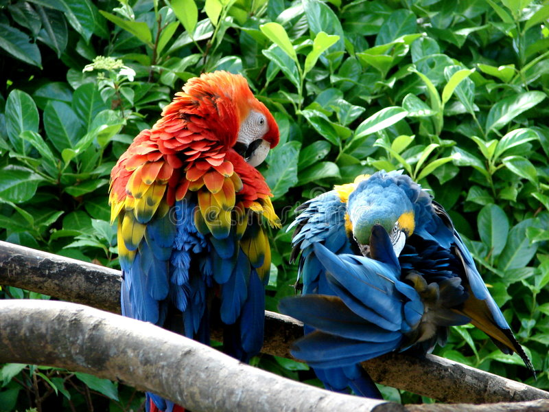 夫妇鹦鹉 库存图片