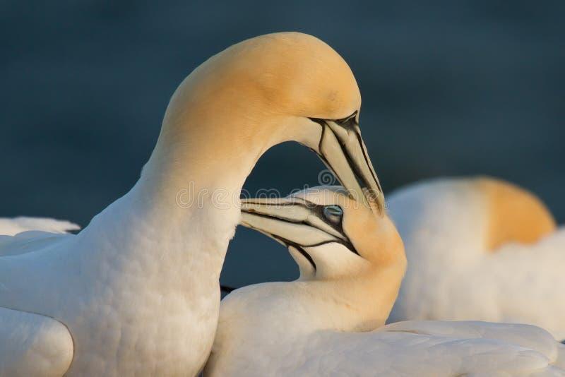 夫妇gannets 免版税库存图片