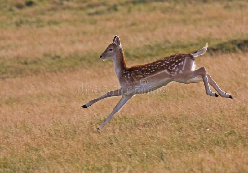 失去控制鹿的女性 库存图片