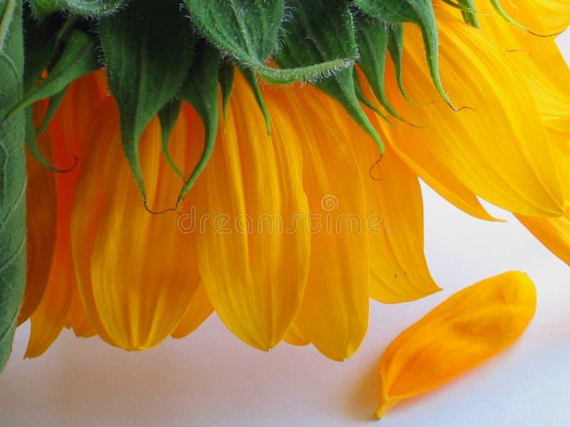 失去的瓣向日葵 免版税图库摄影