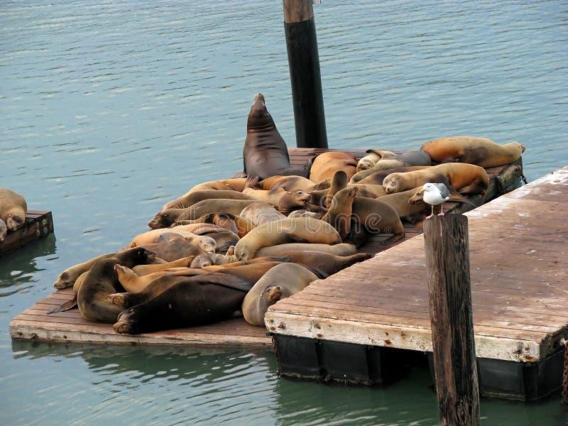 39头加利福尼亚狮子码头海运 库存照片