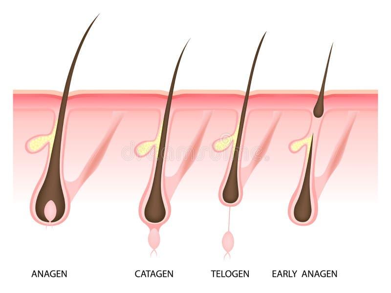 头发成长阶段,传染媒介例证 皇族释放例证