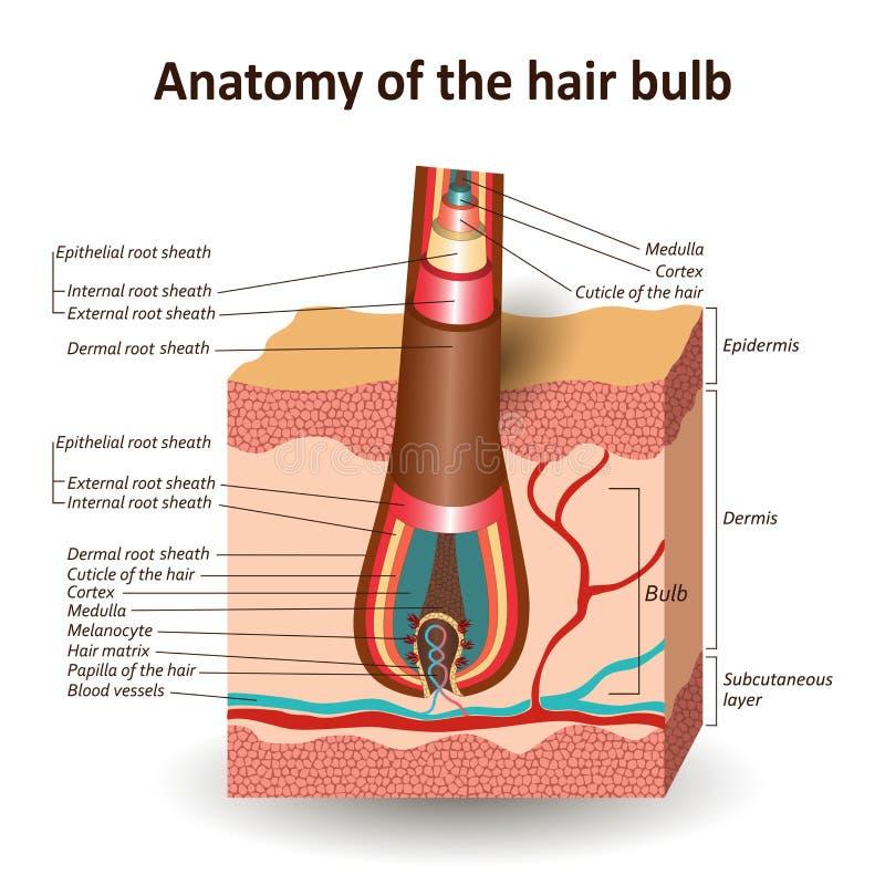 头发电灯泡,解剖医疗教育横幅的结构在发怒皮肤层数的 r 向量例证