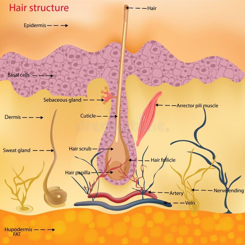 头发的解剖结构在一个人的头的在显微镜特写镜头下的 也corel凹道例证向量 头发 库存例证