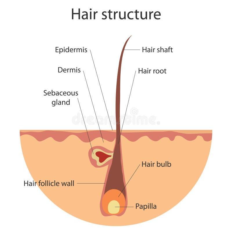 头发,生长头发的结构 向量例证