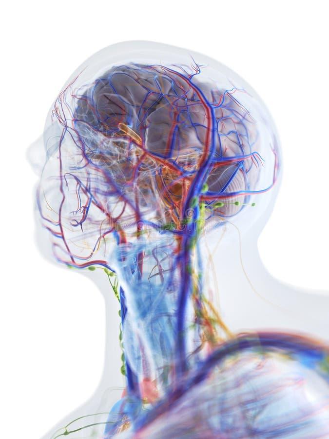 头和脖子的解剖学 库存例证