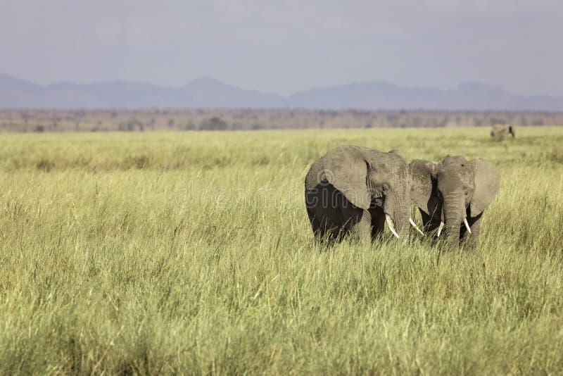 2头年轻非洲大象,非洲象属,在Amboselli平原  免版税库存照片