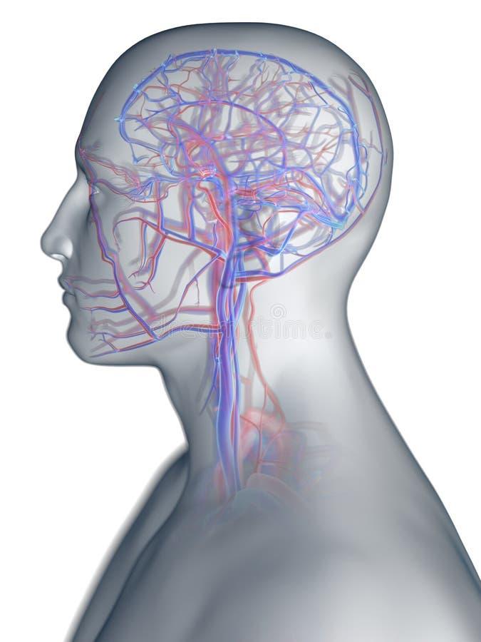 头的脉管系统 皇族释放例证