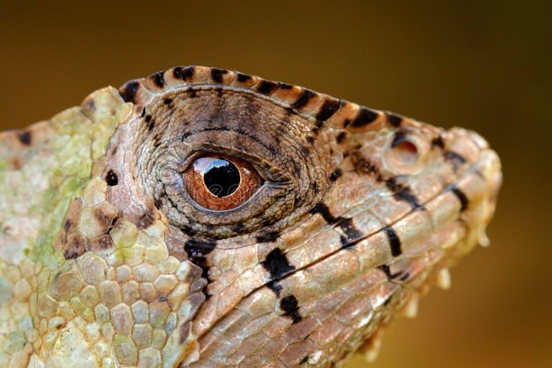 头盔状的蛇怪鬣鳞蜥,Corytophanes cristatus 库存照片