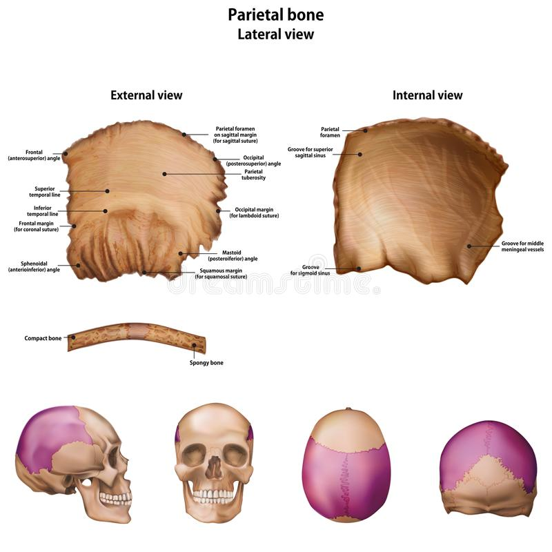 头顶骨的骨头 所有站点的名字和描述 皇族释放例证