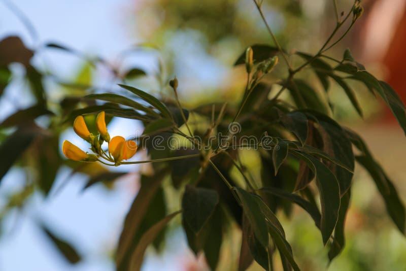 黄夹竹桃属peruviana Cascabela黄夹竹桃属黄色夹竹桃 图库摄影