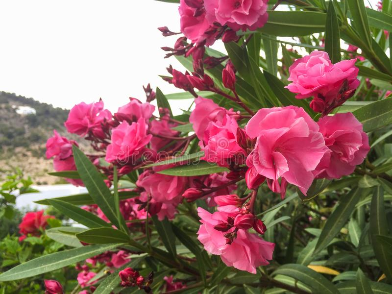 夹竹桃有桃红色花的夹竹桃植物 库存图片