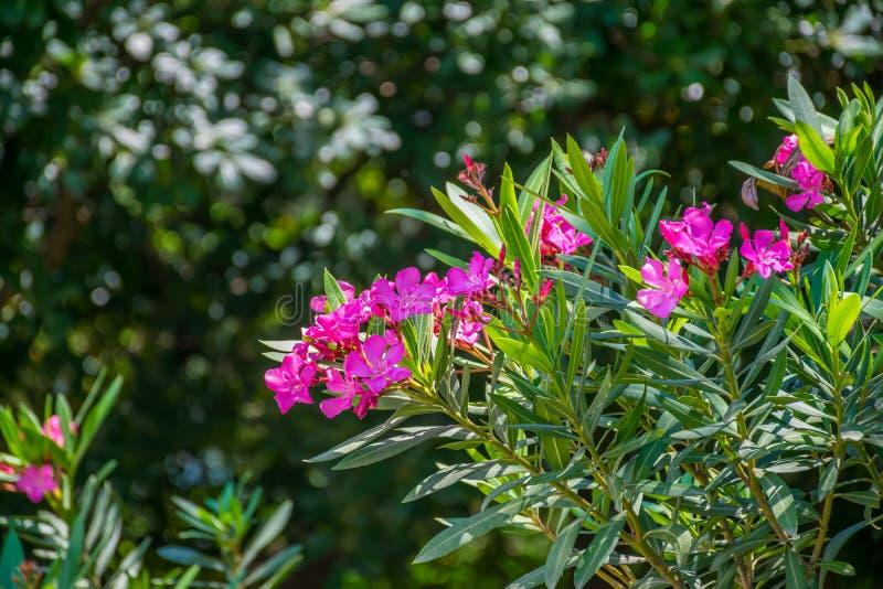 夹竹桃美丽如画的紫罗兰色花  图库摄影