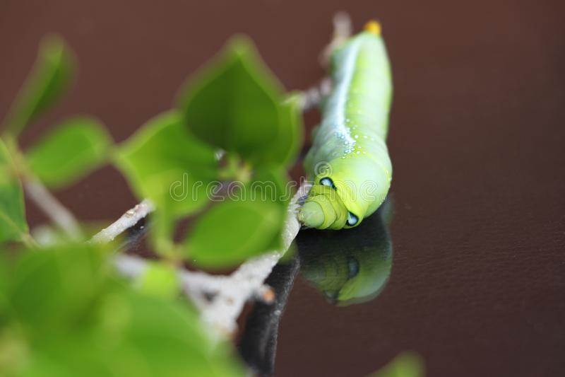 夹竹桃hawkmoth毛虫土卫三十五nerii,在树分支的天蛾  免版税库存图片