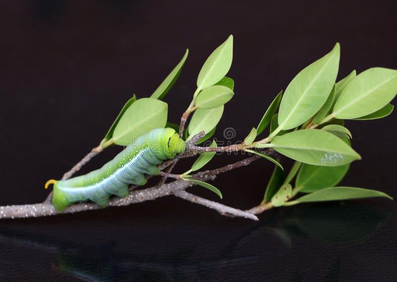 夹竹桃hawkmoth毛虫土卫三十五nerii,在树分支的天蛾  图库摄影