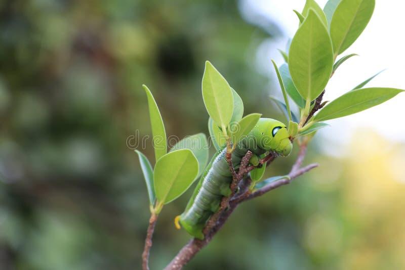 夹竹桃hawkmoth毛虫土卫三十五nerii,在树分支的天蛾  免版税库存照片