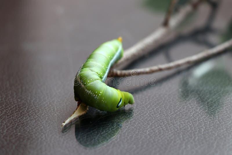 夹竹桃hawkmoth毛虫土卫三十五nerii,在树分支的天蛾  免版税图库摄影