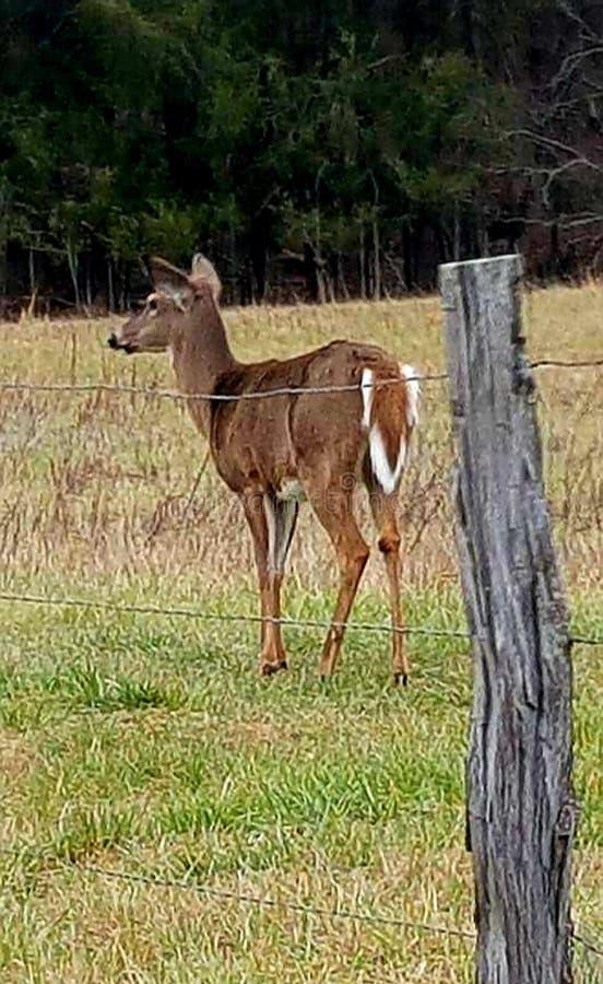 夺取了一头美丽的鹿在cades小海湾,当在度假在加特林堡田纳西时 免版税库存照片