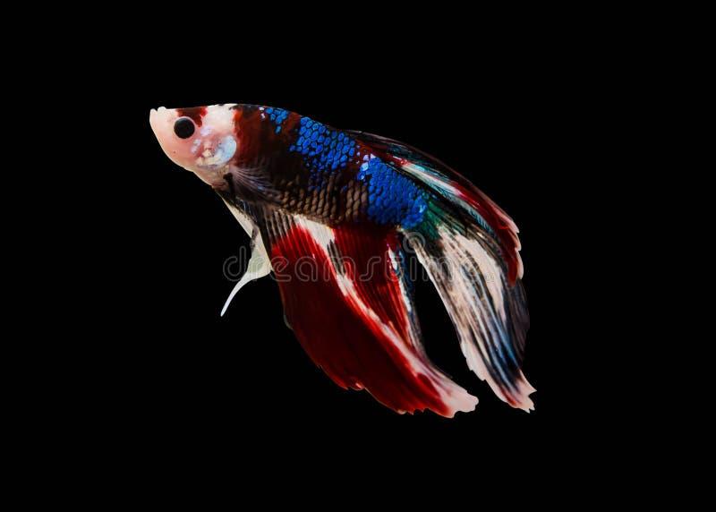 夺取在黑背景隔绝的白色暹罗战斗的鱼的移动的片刻 Betta鱼 免版税库存照片