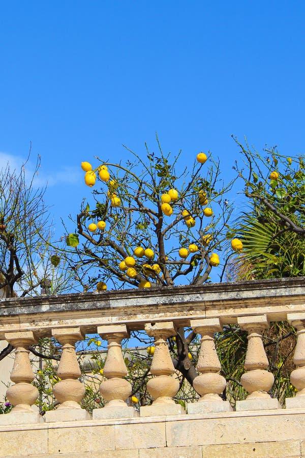 夺取柠檬树用在历史大阳台的成熟柠檬的垂直的照片接近广场中央寺院正方形的圣诞老人露西娅教会 图库摄影