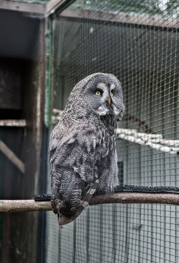 夺取猫头鹰的动物射击 E 华美的大鸟在笼子坐 t 鸟类学概念 室外的猫头鹰 免版税库存图片
