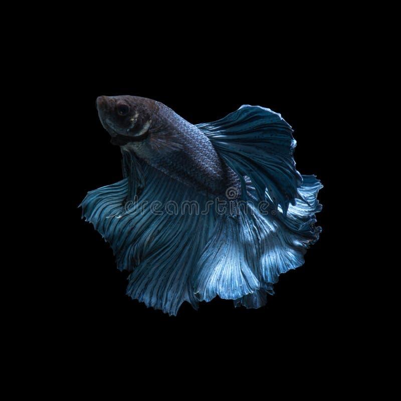 夺取蓝色暹罗战斗的鱼的移动的片刻 免版税库存图片