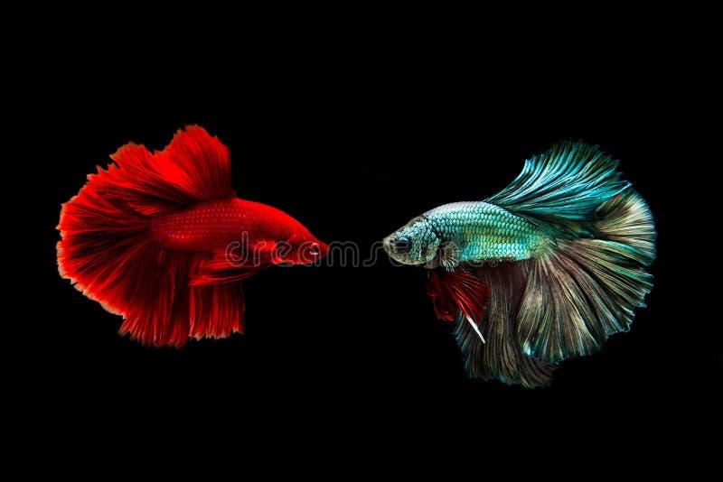 夺取金黄铜暹罗战斗的鱼和红色在黑背景隔绝的betta鱼的移动的片刻 Betta鱼 免版税库存图片