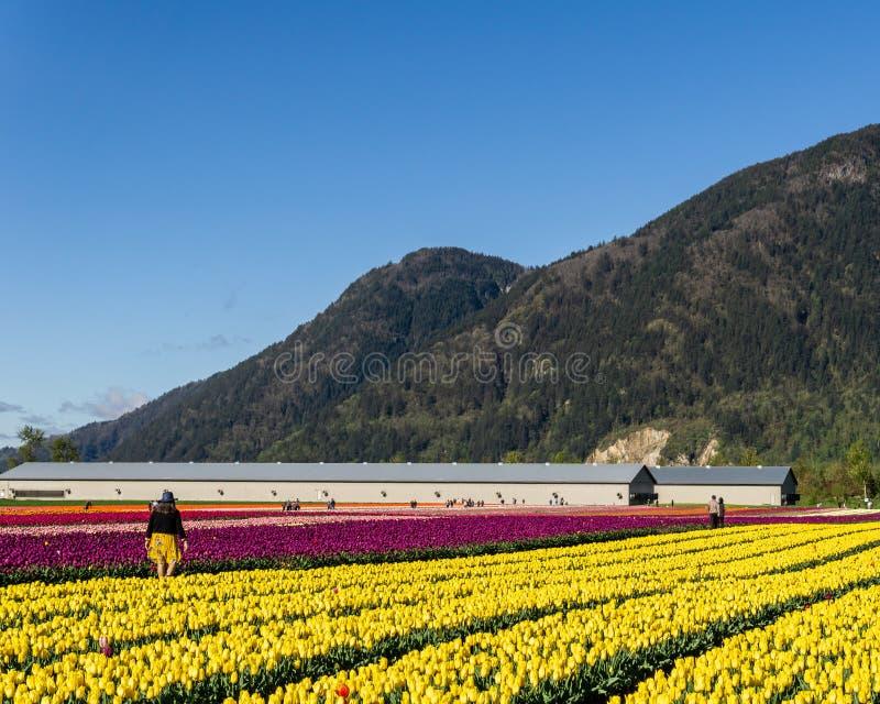 奇利瓦克,加拿大- 2019年4月20日:在奇利瓦克郁金香节日的大郁金香花田在不列颠哥伦比亚省 库存照片