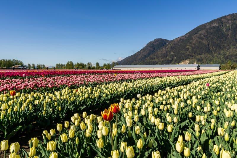 奇利瓦克,加拿大- 2019年4月20日:在奇利瓦克郁金香节日的大郁金香花田在不列颠哥伦比亚省 免版税库存照片