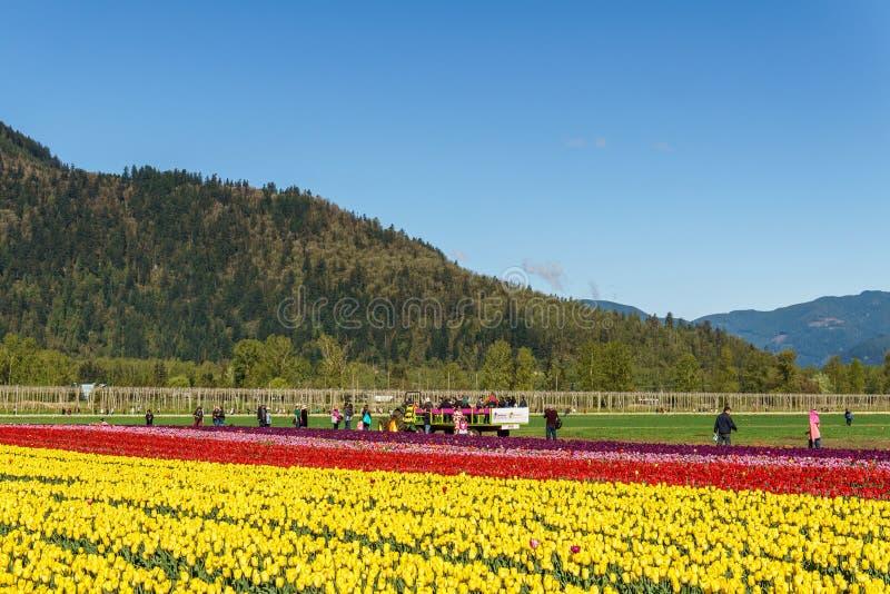 奇利瓦克,加拿大- 2019年4月20日:在奇利瓦克郁金香节日的大郁金香花田在不列颠哥伦比亚省 免版税库存图片