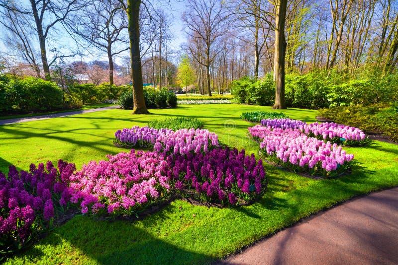 奇妙风信花花在Keukenhof庭院里 美丽 免版税库存照片