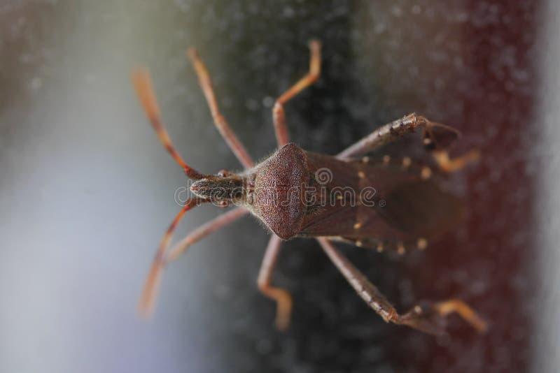 奇怪的紫色红色甲虫宏观射击  库存图片