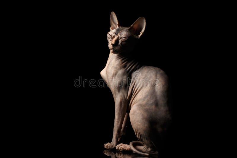 奇怪的Sphynx猫被隔绝的好奇半眯着的眼睛坐黑背景 免版税库存图片
