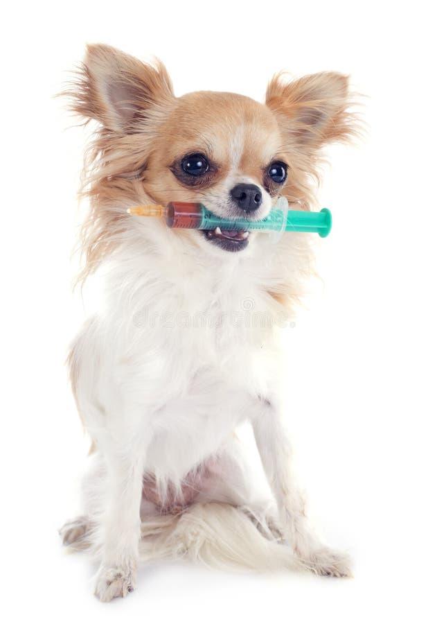 奇瓦瓦狗和注射器 免版税库存照片