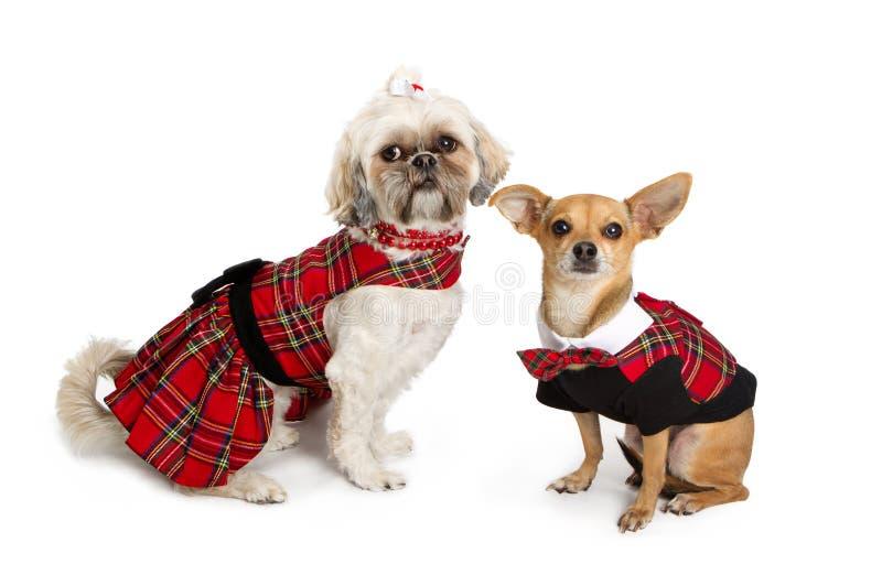 奇瓦瓦狗圣诞节穿戴了shihtzu 免版税库存照片