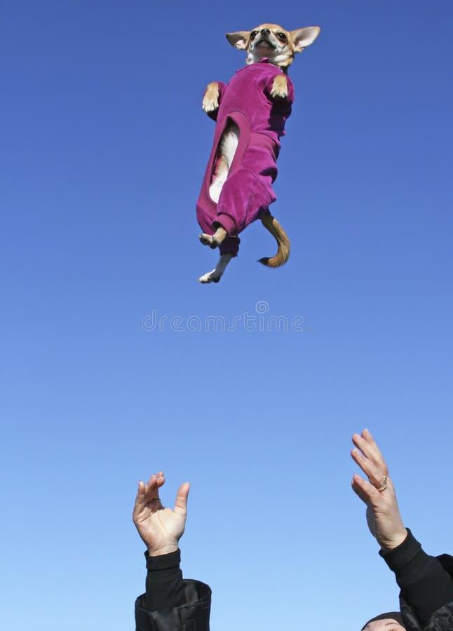 奇瓦瓦狗在天空中 免版税库存照片