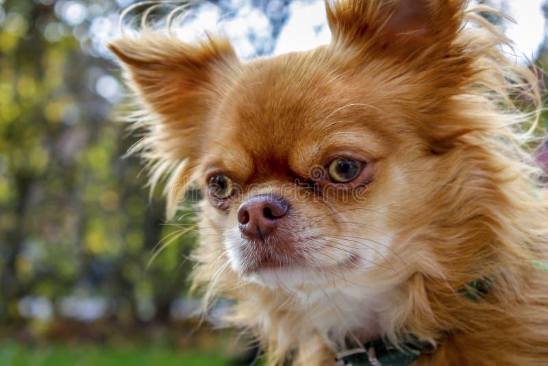 奇瓦瓦狗在庭院里 库存照片