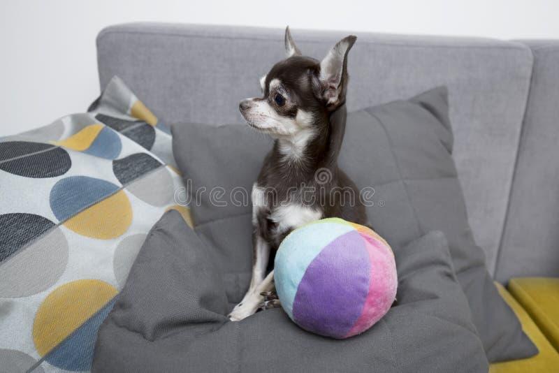 奇瓦瓦狗坐灰色沙发户内与颜色球 免版税库存照片