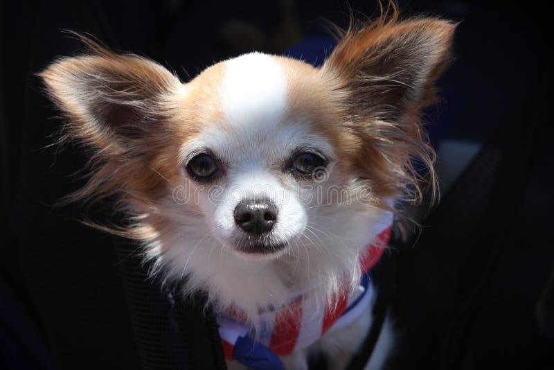 奇瓦瓦狗头发长 免版税库存图片