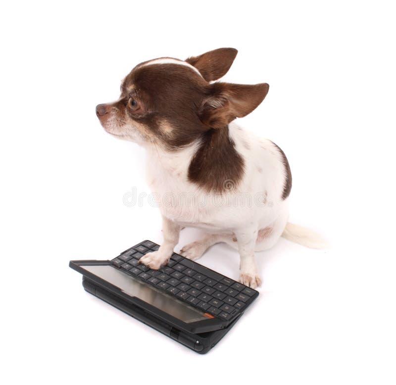 奇瓦瓦狗她的个人计算机便携式 库存图片